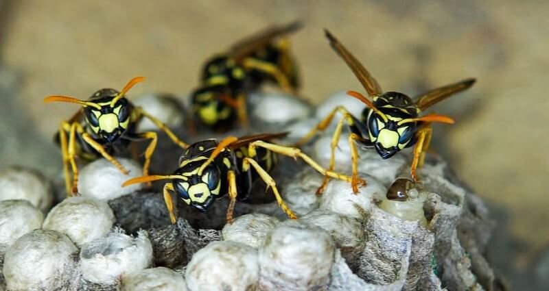 WASP Control & Nest Removal Services In Ontario